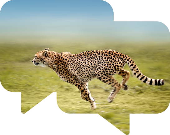 A cheetah in full gallop across a grassy plain.